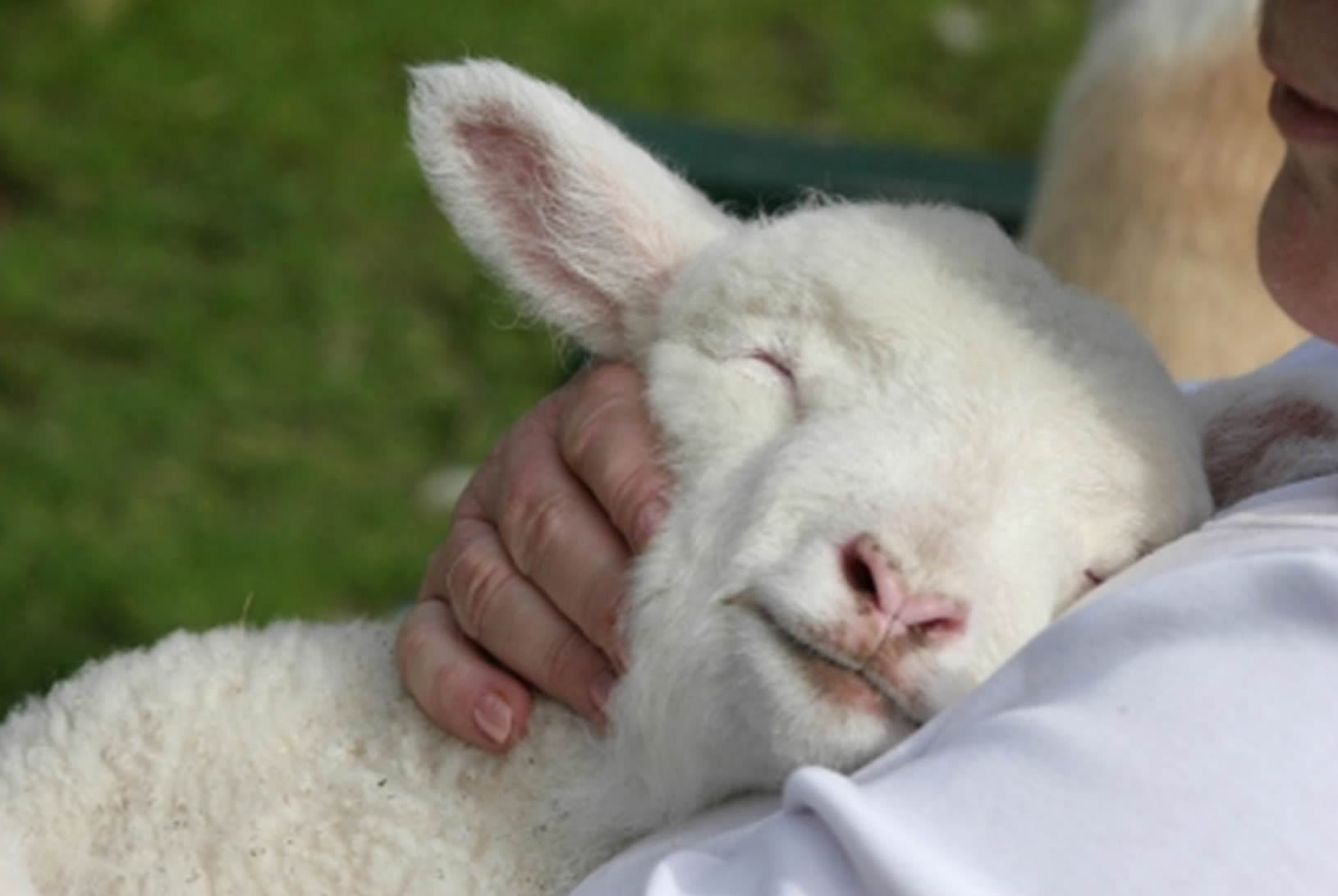 Resultado de imagem para ovelha salmo 23